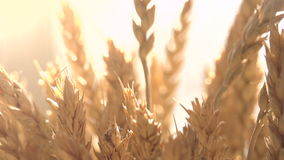 Ears of Wheat in the Sunlight stock video footage