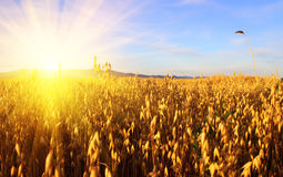 Ears of wheat. Sunrise Royalty Free Stock Image