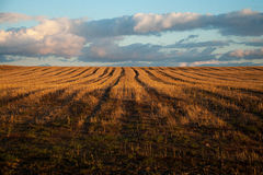 Ears of wheat at sunset Royalty Free Stock Image