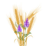 Ears of wheat tied with wildflowers bird vetch. Ears of wheat tied with wildflower bindweed bird vetch canada pea. Vector illustration Royalty Free Stock Photography