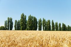 Ears of wheat and trees Stock Images