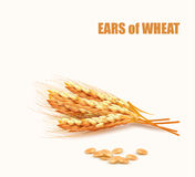 Ears of wheat. Vector Royalty Free Stock Photos