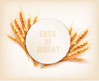 Ears of wheat. Vector Royalty Free Stock Photo