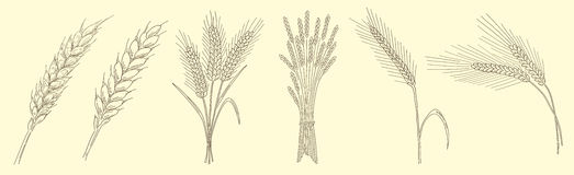 Ears of wheat. Vector sketch hand drawn illustration. Vintage design with natural and healthful cereals. Black and white Royalty Free Stock Photography
