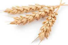 Ears of wheat. On white background Royalty Free Stock Photo