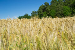Ears of wheat in the wind stock photography