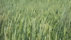 Ears of wheat stock video footage