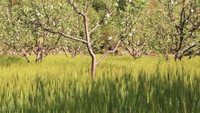 Ears Wheat Wind Apple Orchards Trees stock video