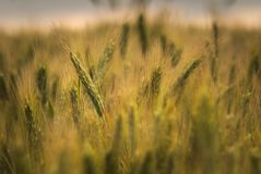 Ears of whey in a field in the sunlight Royalty Free Stock Image