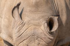 Ears of a white rhinoceros. The ears of a white rhinoceros or square-lipped rhinoceros, Ceratotherium simum royalty free stock image