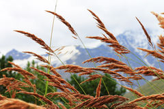 Ears of yellow grass growing on the meadow Stock Image