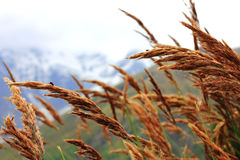 Ears of yellow grass growing on the meadow Royalty Free Stock Photo