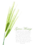 Ears of young green wheat Stock Image