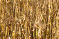 Ears young wheat field. Royalty Free Stock Images
