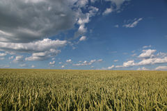 Ears young wheat in a field in summer on sky background Royalty Free Stock Photography