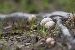 Earth ball mushrooms Stock Photo