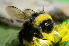 Ground bumblebee close-up on a flower royalty free stock photo
