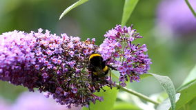 Earth bumblebee is gathering pollen in Buddleja flower stock video