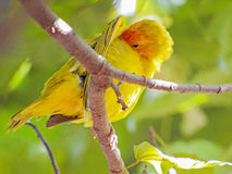 Earth Canary. The canary Sicalis flaveola is also known in Brazil as canary-of-garden, canary-of-tile, canary-of-field, canary-plaice, canary-of-ground, altar royalty free stock photo