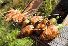 Earth covered fresh carrots. On wooden board Royalty Free Stock Photo