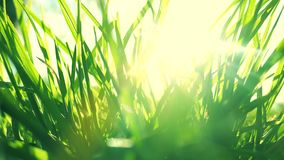 Fresh grass on a sunny green field at sunrise, nature background stock footage