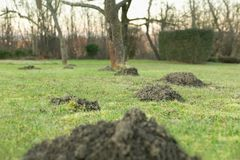 Mole hole in the garden. Earth mound of a mole on the garden, mound of a mole on the meadow stock photography
