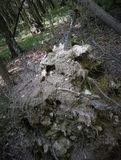 The Earth pile Inverted old stump of a bizarre shape is very similar to a ghost, monster, goblin, cast, if you look at light and. Background landscape for a Royalty Free Stock Photo