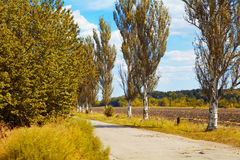 Earth road and poplar. Fall Royalty Free Stock Images