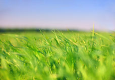 Earth & sky: grass. Earth & sky: green grass under sky Royalty Free Stock Photography