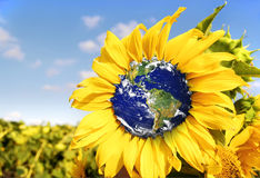 Earth in spring sunflower. Royalty Free Stock Photography