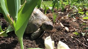 Turtle stand in the sun in a garden chilling. Earth turtle chilling in the sun  in a garden stock video footage