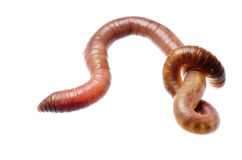 Earth worm Stock Image