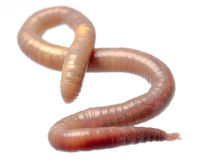 Earth worm. Animal earth worm isolated on white Royalty Free Stock Photography