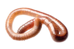 Earth worm Royalty Free Stock Photos