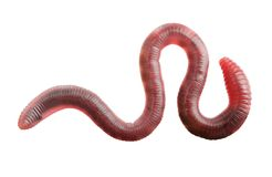 Earth worm isolated Stock Photography
