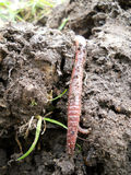 Earth worm Royalty Free Stock Photo