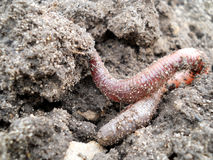 Earth worm Stock Images