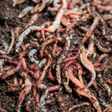Earth Worms Royalty Free Stock Photos