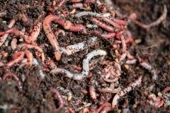 Earth Worms. (Dendrobena Veneta) for Fishing or Compost Stock Photo