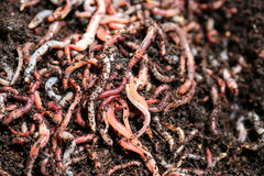 Earth Worms. (Dendrobena Veneta) for Fishing or Compost Royalty Free Stock Photography