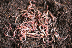 Earth Worms Stock Photography