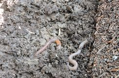 Earth worms. Under a tree emerging from the ground after a rainfall stock photography