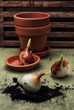 Earthen pot and spring bulbs plants Royalty Free Stock Image