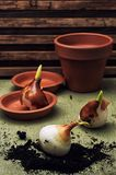 Earthen pot and spring bulbs plants Royalty Free Stock Images