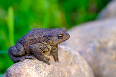 Earthen toad. Good quality close up portrait of a toad sitting on the rock. Pimply rough skin, harsh unabashed look, bright expressive yellow with orange eyes Royalty Free Stock Photography