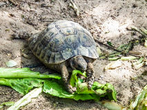 Earthen turtle eating green leaves on sand Stock Photo