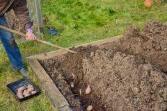 Earthing up potatoes Royalty Free Stock Image