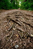 Earthly bounds. Vein like roots on a forest path stock photo