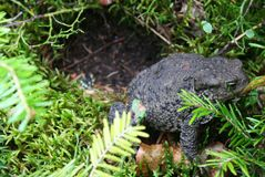 Earth Frog Royalty Free Stock Photo