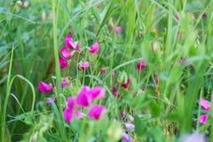 Earthnut groch Fotografia Stock
